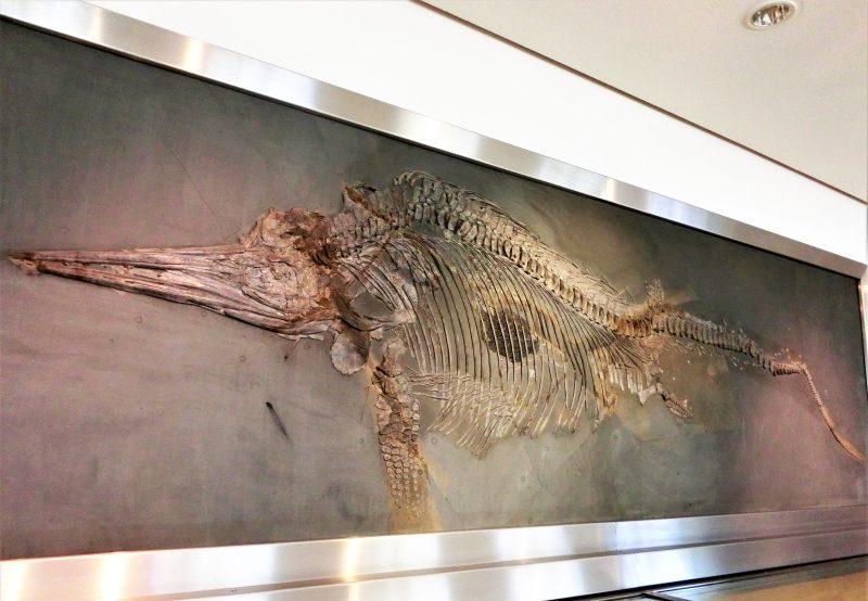 Dinosaurierskelett an der Wand des naturhistorischen Museums Braunschweig