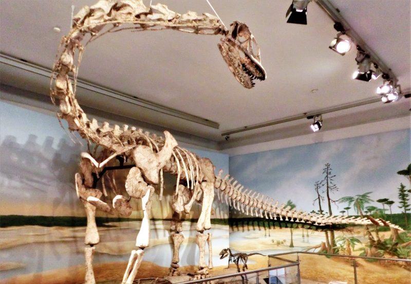 Spinophorosaurus nigerensis Sauropode Dinosaurierskelett im Naturhistorischen Museum Braunschweig
