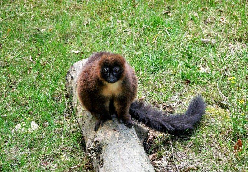 Rotbauchmaki im La Vallée des Singes dem Affenpark Frankreich