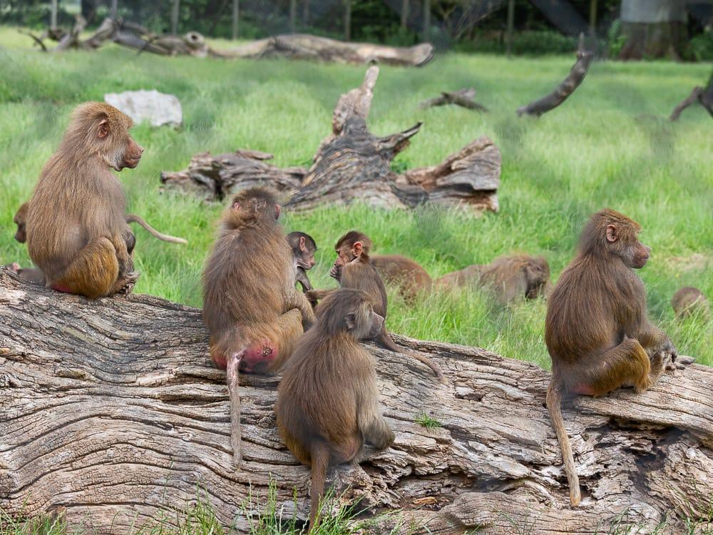 Blick ins Affengehege im Knuthenborg Safaripark Dänemark