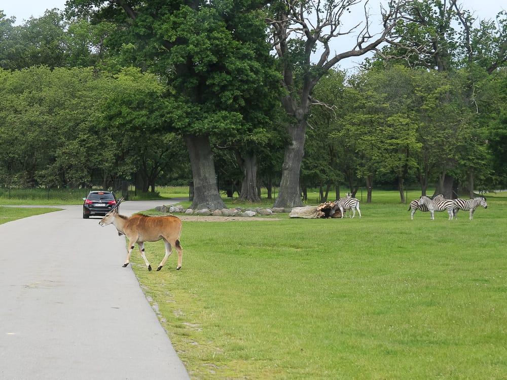 Im Knuthenborg Safaripark Dänemark mit dem Auto