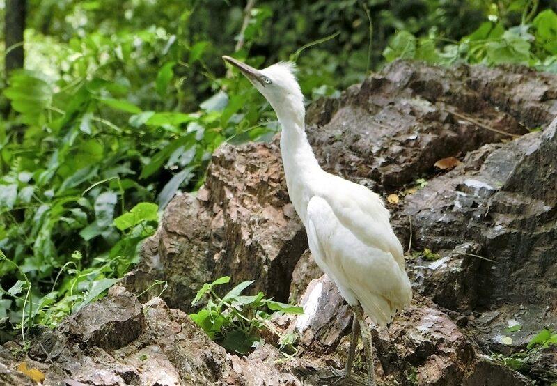 Schreitvogel im Historical Park Si Satchanalai in Thailand